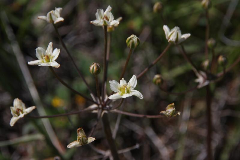 What is this white flower? Maybe False onion (Muilla maritima)?