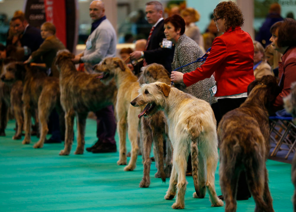 . Irish Wolfhounds are judged during the first day of the Crufts Dog Show in Birmingham, central England March 7, 2013. REUTERS/Darren Staples   (BRITAIN - Tags: ANIMALS SOCIETY)