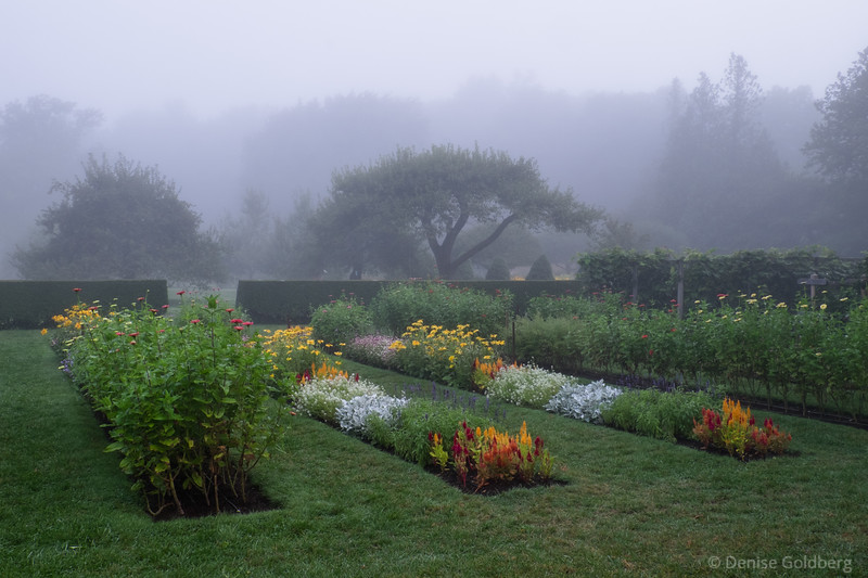 a foggy morning in the flower fields at Stevens-Coolidge Place