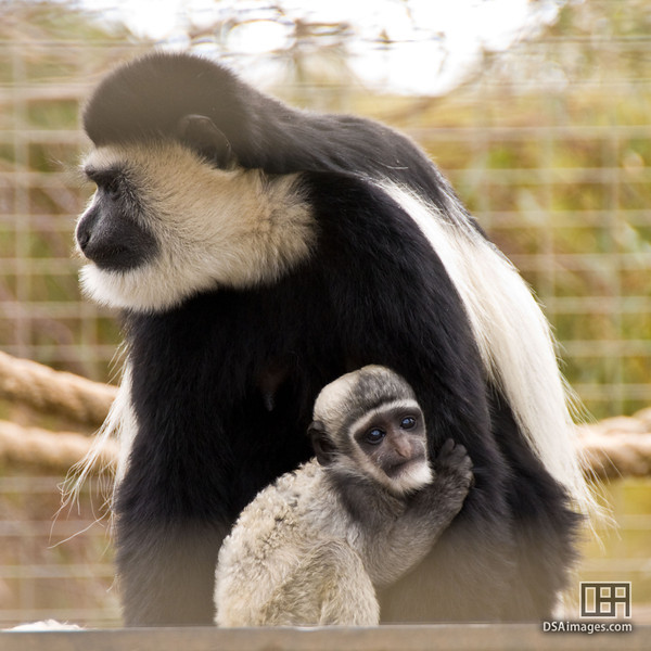 Black-and-white Colobus Monkey with baby