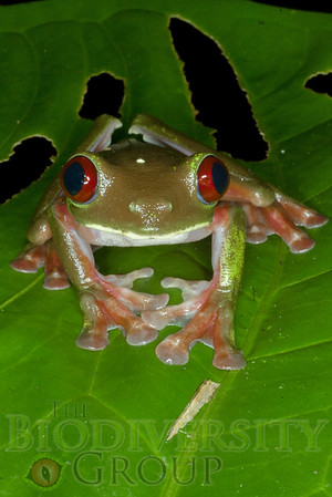 Monkey & Leaf Frogs (Hylidae)
