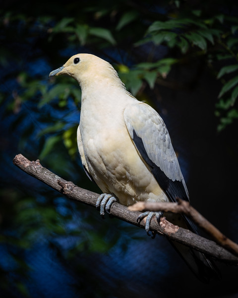 A pied imperial pigeon