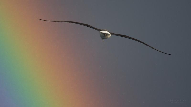 Shy Albatross, Eaglehawk Neck Pelagic, TAS, May 2016-3.jpg