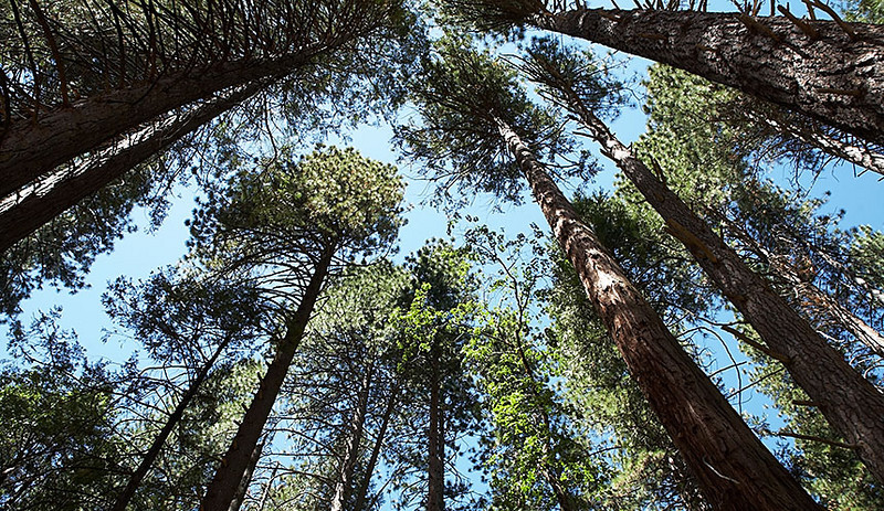 These trees are on the trail to the lower Yosemite Falls.