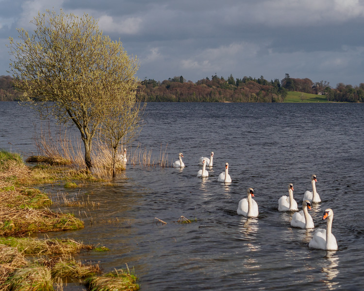 Swans on Lough Ennell, Ladestown