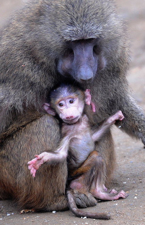 """. A baby baboon only a few days old, stands next to its mother in an enclosure at the \""""ZOOM\"""" Zoo in Gelsenkirchen, western Germany on March 12, 2012.    {PATRIK STOLLARZ/AFP/Getty Images)"""