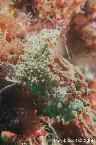 Dermatobranchus ornatus