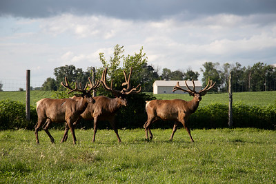 Indiana Elk Farm