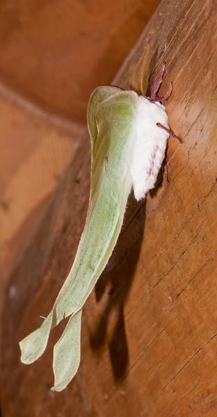 Luna Moth - (Actias luna) - Dunning Lake - Itasca County, MN
