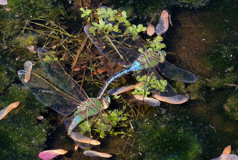 Common Green Darner, tandem pair ovipositing, Lum's Pond SP