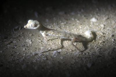 Gulf Sand Gecko