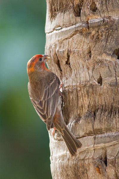 House Finch - Male - Maui, Hawaii, USA