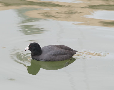 Coot, American