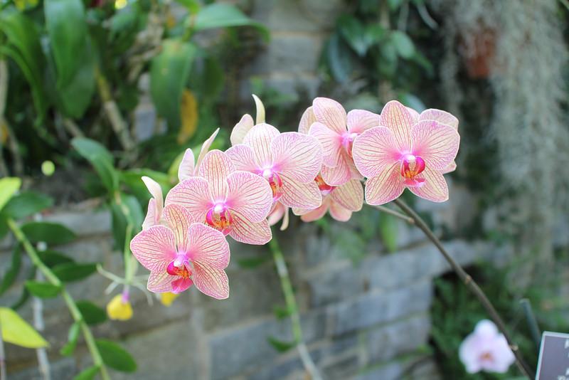 Baldan's kaleidoscope moth orchid
