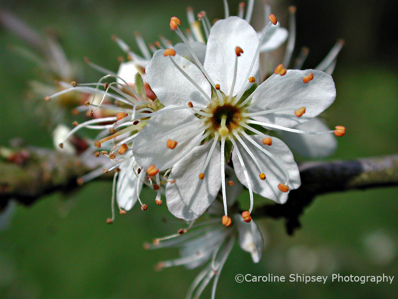 Blackthorn blossom