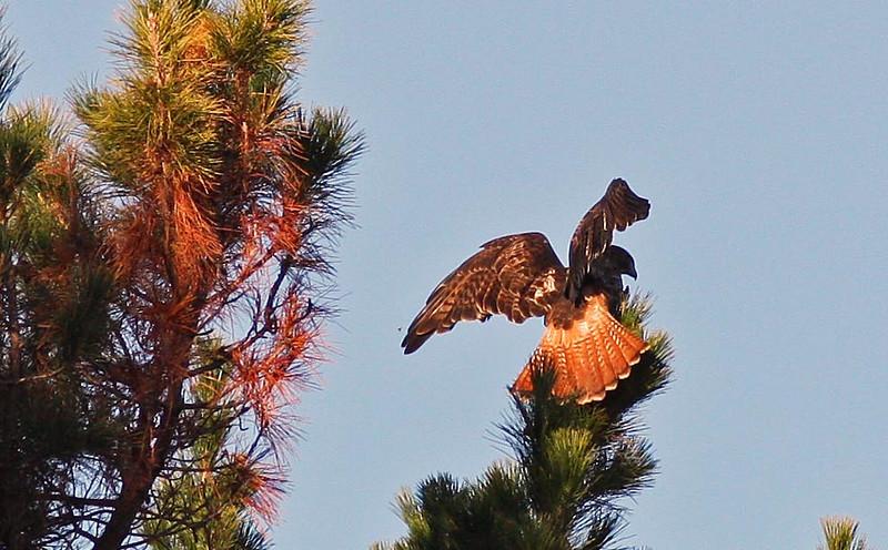 Red-Tailed Hawk landing on Pine Tree (near Las Gallinas Ponds)