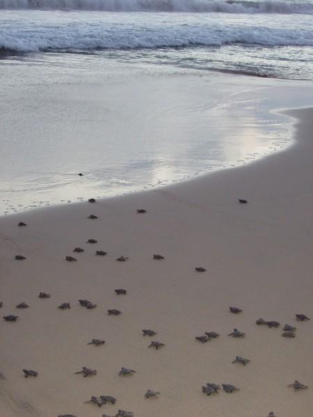 2007-11-30-0037-Las Alamandas in Jalisco, Mexico with Hahns-Sea Turtles Hatched from Rescued Eggs at Las Almandas.jpg