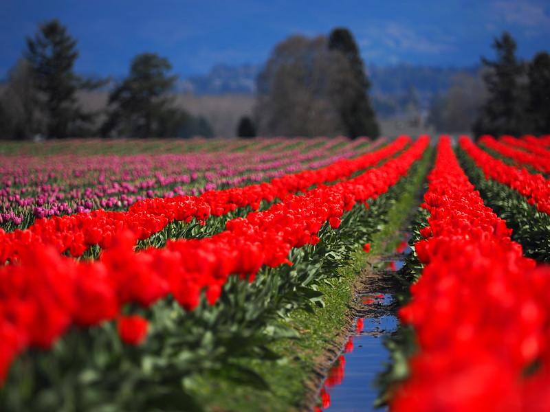 Tulips18.jpg