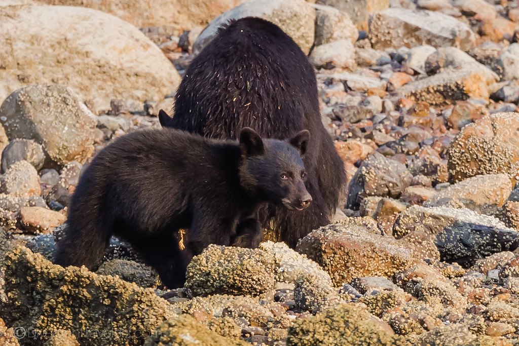 Tofino British Columbia - Bear Viewing - Lina Stock