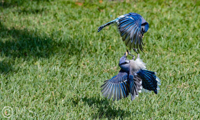 Blue Jay Image Gallery