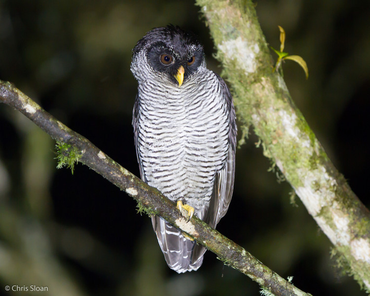Black-and-White Owl, Sachatamia Lodge, Ecuador (03-02-2014) 025-19-Edit.jpg