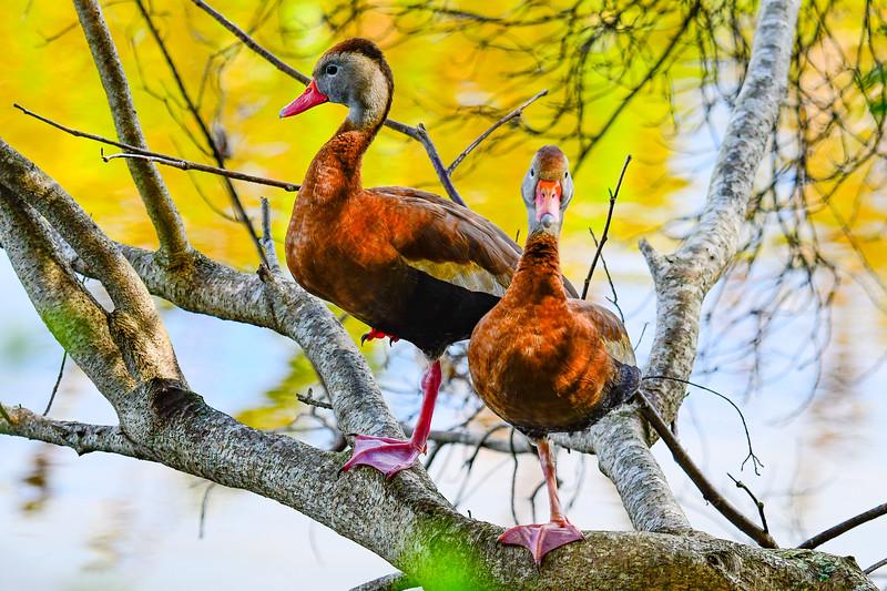 Black-bellied Whisling-Duck