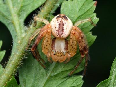 genus Australomisidia
