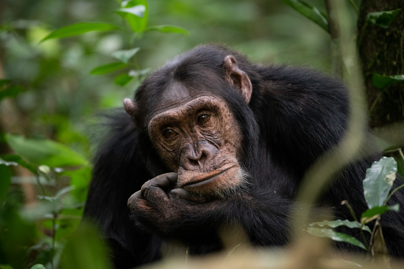 Uganda_T_Chimps-657.jpg