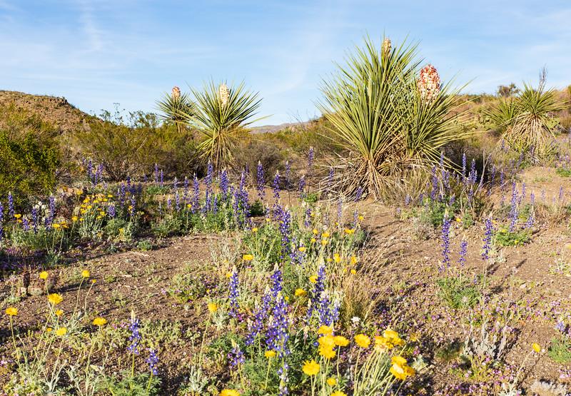 Wildflowers in the Desert