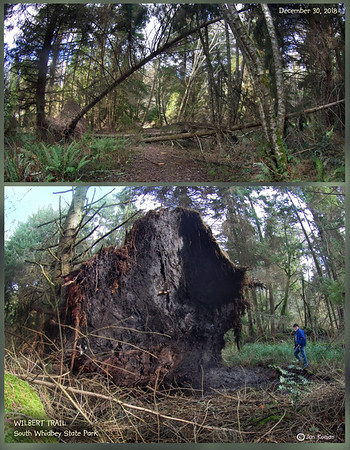 Whidbey woods