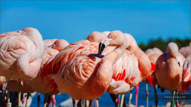 Seashore colony of birds, pink flamingos in Sigean safari park, France