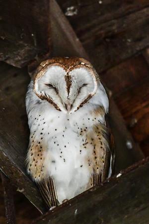 5-24-17 Barn Owl - (Vancouver)
