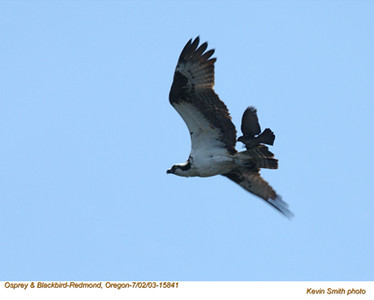 Osprey&Blackbird15841.jpg