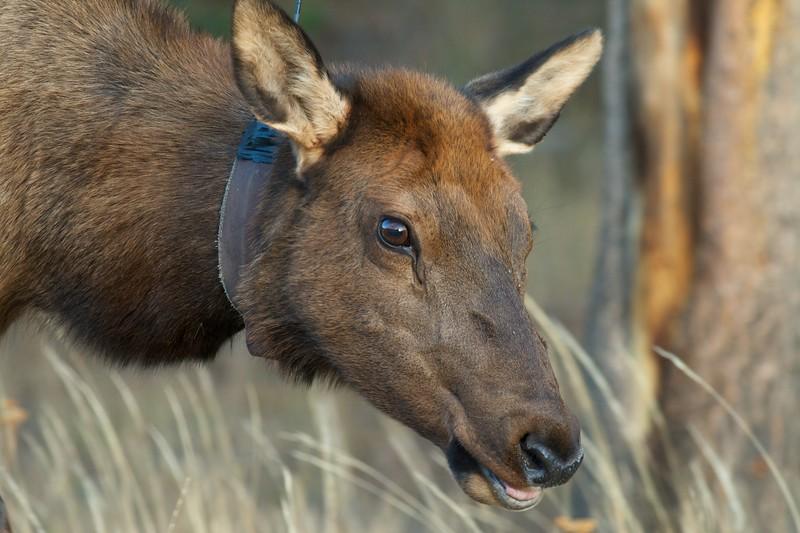 Elk with radio collar Yellowstone NP WY IMG_0001150.jpg
