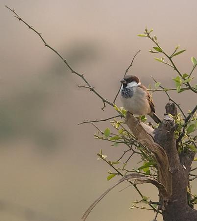 Sind Sparrow