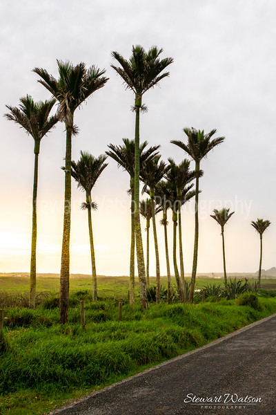 Kikau palms between Karamea and the Heaphy track car park