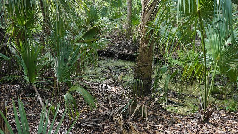 Waterway in palm hammock