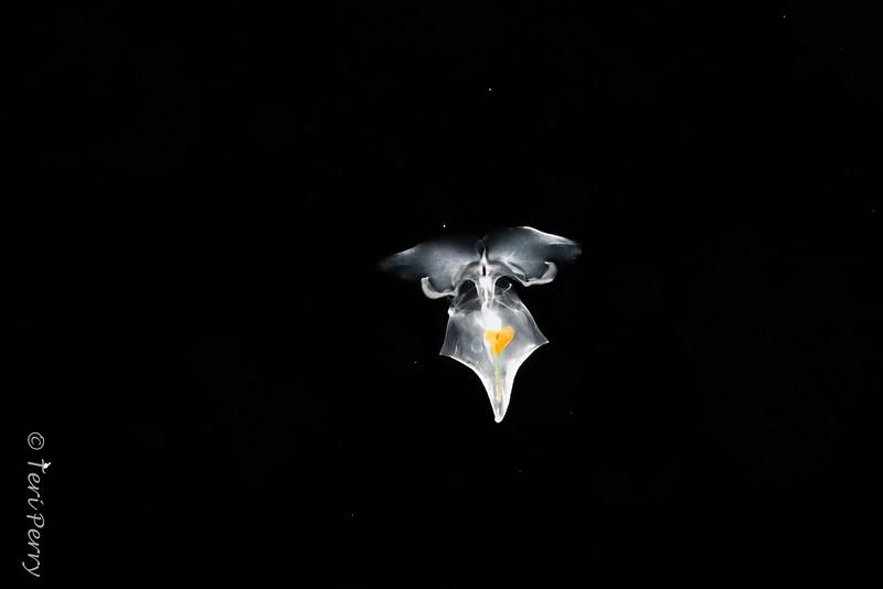 BLACKWATER - Pteropod Diacria trispinosa?-0094-Edit.jpg