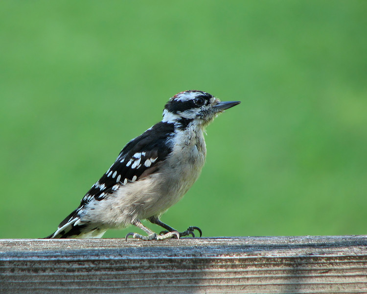 downey_woodpecker_4525.jpg