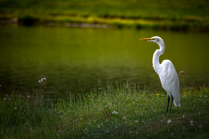 White Heron, Plainfield, Illinois