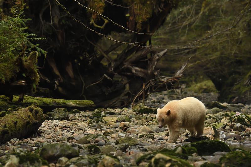 Sprirt Bear fishing in Kwa Creek