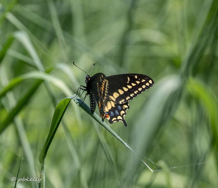 b swallowtail 060620-2.jpg