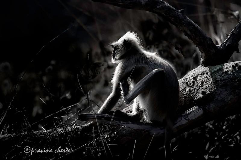 Langur in the sun