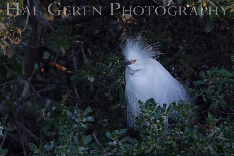 Snowy Egret male Newark, California 1304N-SE15