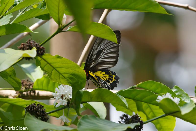 Birdwing butterfly at Thattekad, Kerala, India (03-06-2015) 071-58.jpg