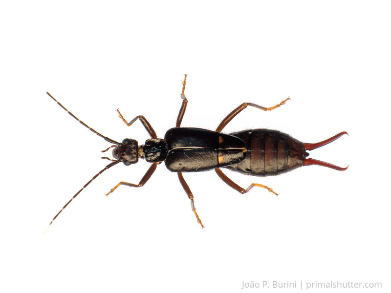 Earwig (Thysanura) Tapiraí, São Paulo, Brazil Atlantic forest (rainforest strictu sensu) January 2017