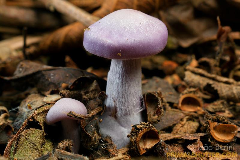 Purple mushrooms on the forest floor
