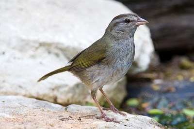 Sparrow, Olive