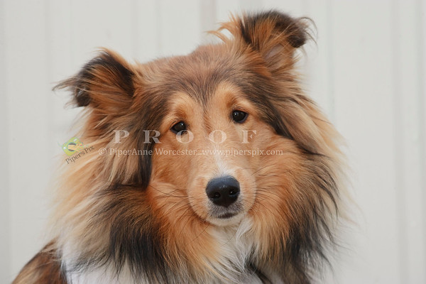 Sheltie_TH