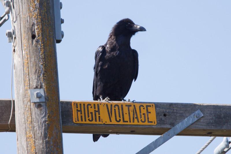 Common Raven at Firebaugh, CA (07-18-2009)